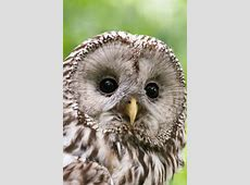 Ural Owl Free Stock Photo - Public Domain Pictures My Online Account