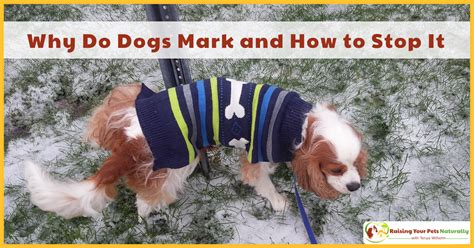 How To Stop A Dog From Marking In Your House Raising Your Pets Naturally With Tonya