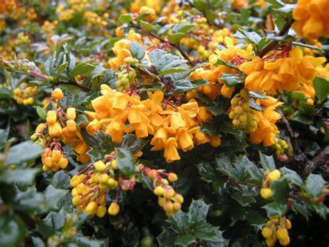 orange flower shrub berberis darwinii landscape architect s pages