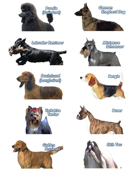 popular breeds in usa most popular breeds in the us breeds picture