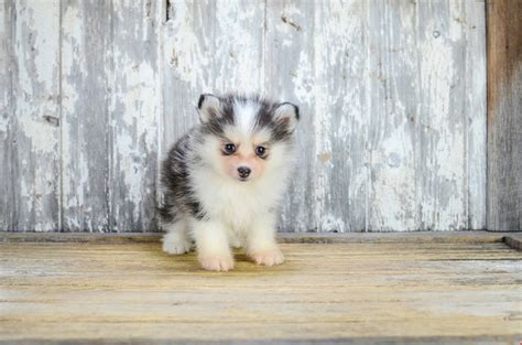 mini pomsky puppies for sale mini pomsky puppy