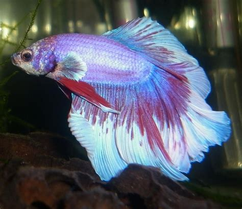 betta colors bubbles bettas types and patterns