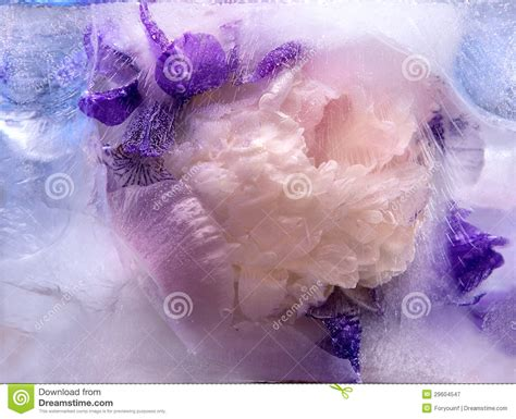 Frozen Pink Flower frozen pink peony and iris flower royalty free stock