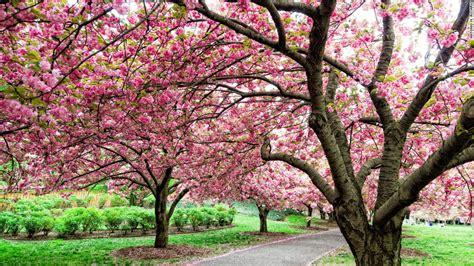 Cherry Blossom Festivals A Rite Of Spring Cnn Com Botanical Garden Cherry Blossom Festival