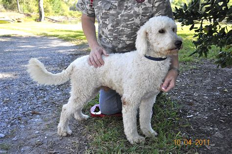 75 golden retriever 25 poodle just labs kennels home of labs and labradoodles of southeast