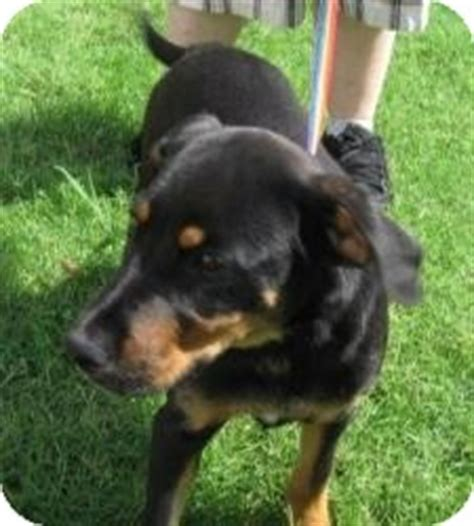rottweiler lab puppies for sale labrador retriever puppies for sale rachael edwards