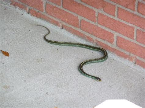 Garter Snake Green Black Green Black Snake