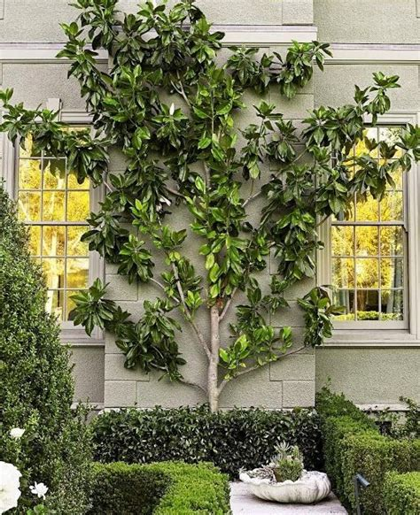 green walls trellised vines espalier trees