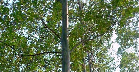 eucalyptus deglupta pohon ekaliptus usia