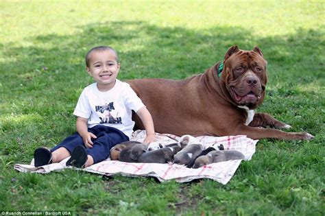 Hulk the world's biggest pitbull cuddles up to his litter ... Huge Pitbull Attack