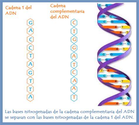 p 11 una cadena de dna tiene la siguiente sucesi 243 n de - Cadenas De Adn Complementarias