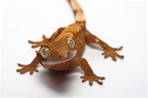 my pet gecko 3 by macrojunkie on deviantart