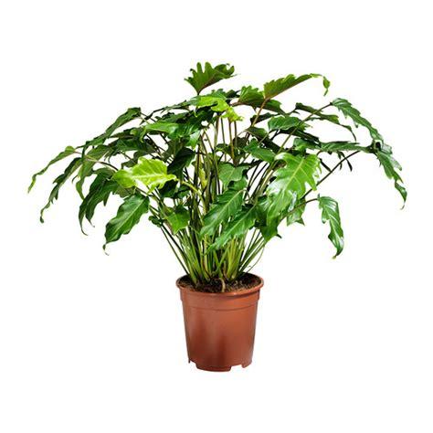 ikea plants philodendron xanadu potted plant 21 cm ikea