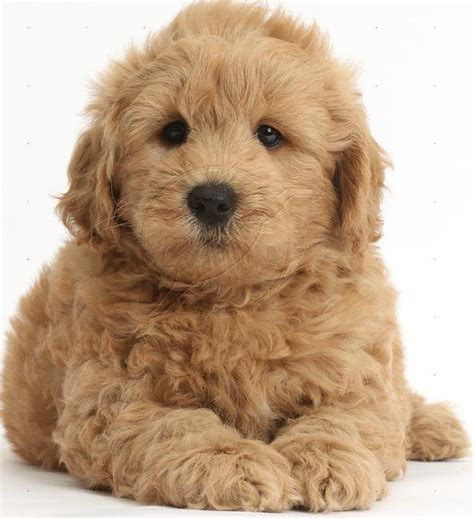 goldendoodle puppy jewell s goldendoodles