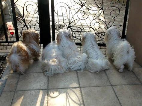 shih tzu family my shih tzu family