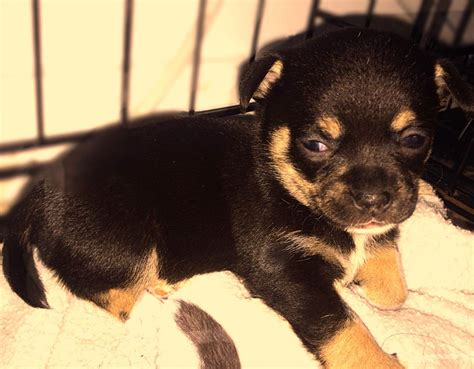 chocolate chihuahua puppies ready today tiny kc s c chocolate chihuahua boy ferryhill county durham pets4homes