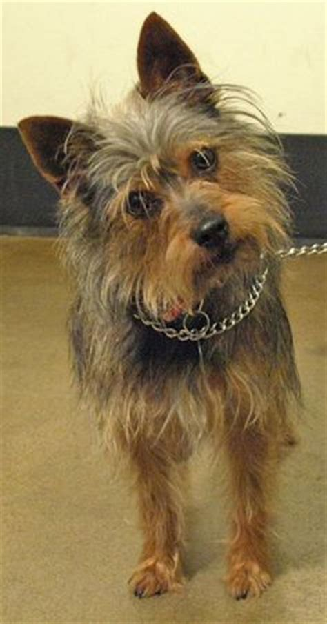 yorkie rescue tulsa trudy wire fox terrier terrier mix small rescued n ready