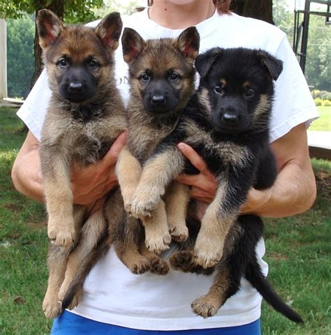 security dogs personal protection dogs for sale protection dogs protection