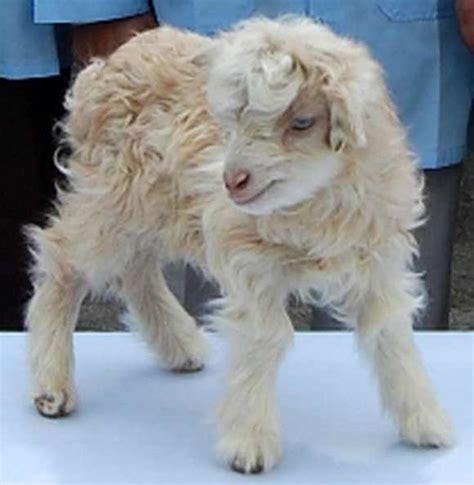 Pashmina Anima in photos the world s cloned pashmina goat rediff news