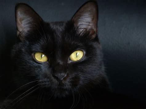 imagenes en negro fondos de gato negro fondos de pantalla de gato negro