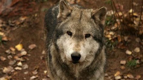 dire wolf white wolf march 2011