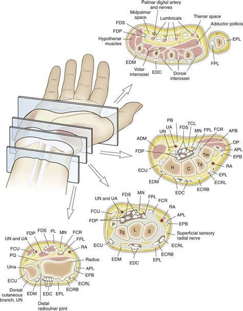 cross section of wrist wrist and hand musculoskeletal key