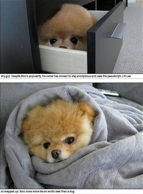 the cutest puppy in the whole wide world is this the cutest in the world boo the pomeranian has millions of fans and his