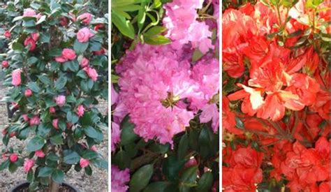 flowering evergreen shrubs for shade plants for the shade shade loving plants uk