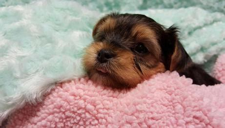 cloverdale yorkies cloverdale yorkies and almost heaven biewers well bred and adorable pups for loving
