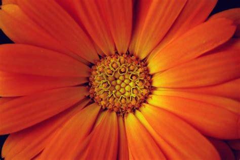 Gerber Daisies by Orange Daisy Photo