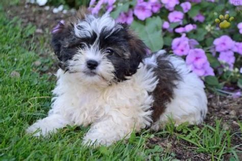 shichon puppies for sale in ohio 1000 ideas about shichon puppies for sale on teddy puppies