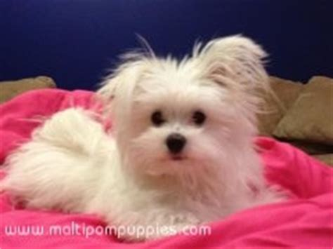 maltese pomeranian mix price 1000 ideas about pomeranian mix on pomsky puppies price pomeranian puppy