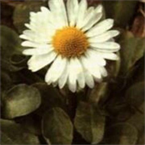 significato dei fiori margherita significato margherita linguaggio dei fiori