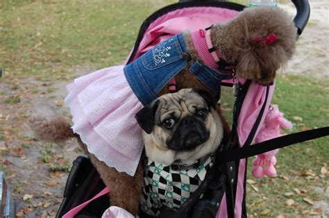 pug dress up dress up poodle and pug fling match pugnacious poodle