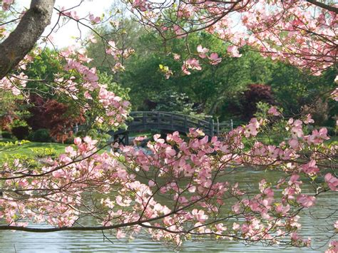 cherry blossom trees 10 places to see cherry blossoms in the u s besides d c photos cond 233 nast traveler