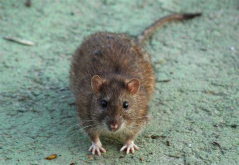 Topi Viii invasione di topi a parigi petpassion