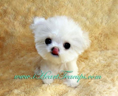 maltipoo puppies for sale in alabama mini maltipoo puppies puppies puppy