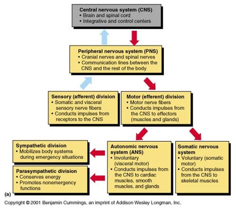 flow diagram of nervous system anatomical divisions of cns divisions of the nervous
