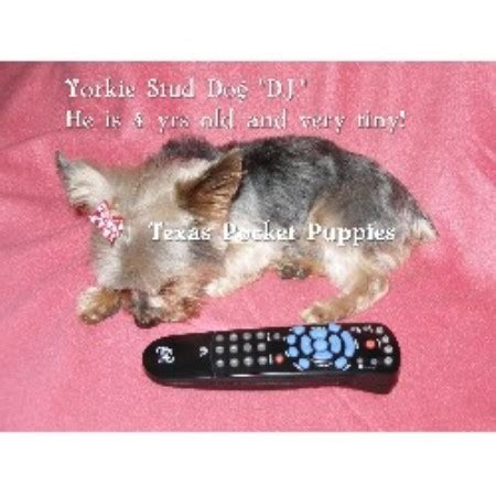 yorkie rescue fort worth mickifreeze terrier breeder in fort worth listing id 12715