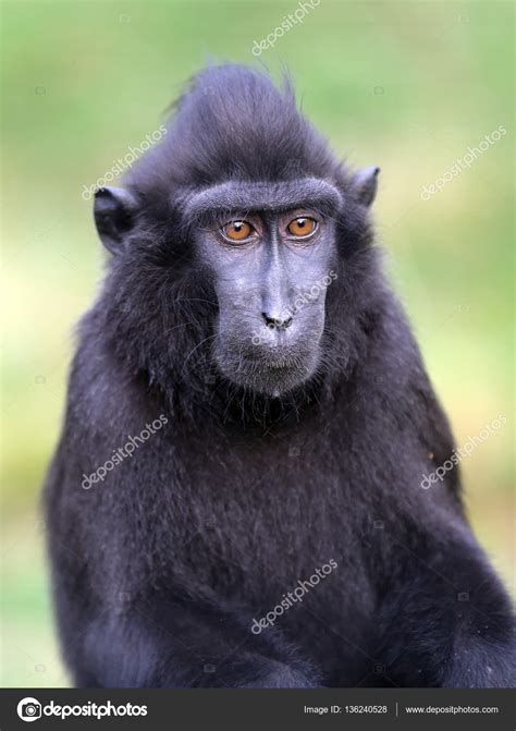 descargar imagen de mono negro mono macaco negro foto de stock 169 ebfoto 136240528