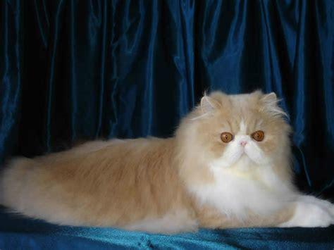 memelihara kucing persia tips memberi makan kucing persia cara merawat kucing persia kesayangan anda