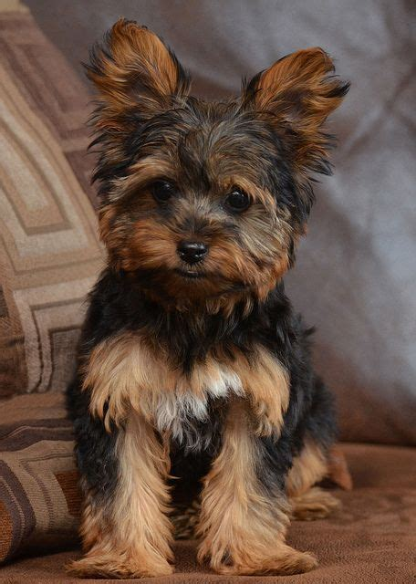 light brown teacup yorkie 83 best images about my