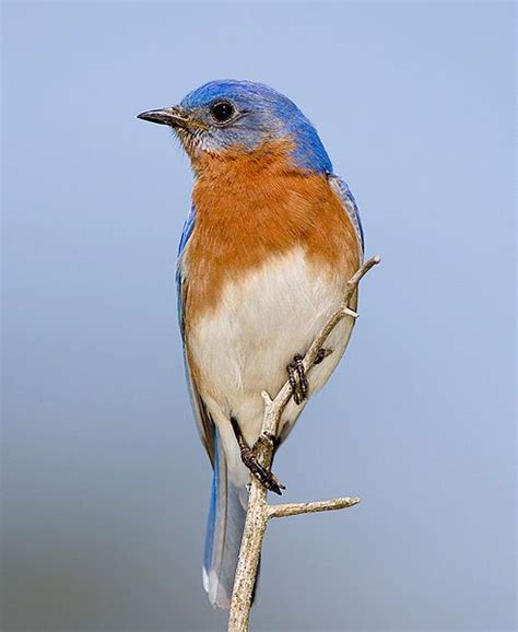 eastern bluebird new york state bird the empire state