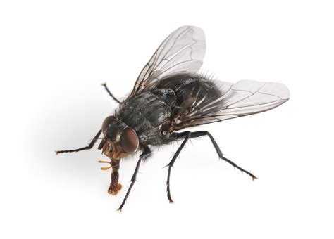 horse flies in house identify your fly what s the buzz