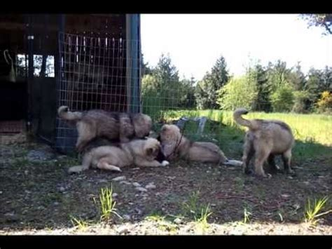 ovcharka puppies for sale in usa caucasian shepherd puppies for sale elbrus kennel usa