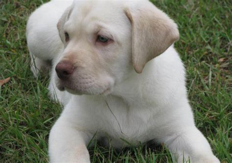 white lab puppies for sale in nc bitches
