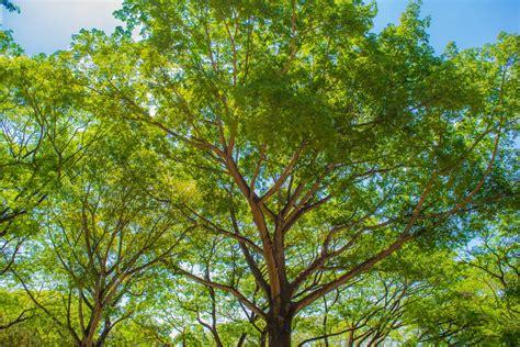 maple tree lifespan free images nature branch sunlight leaf flower produce botany maple tree trees