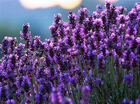 Minyak Atsiri Lavender info sehat alami september 2012