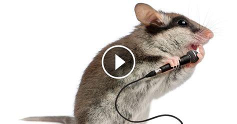 vous l ignoriez peut 234 tre mais les souris chantent pour