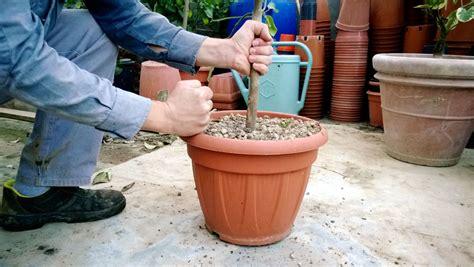 agrumi in vaso agrumi in vaso quando e come rinvarsare vita in cagna